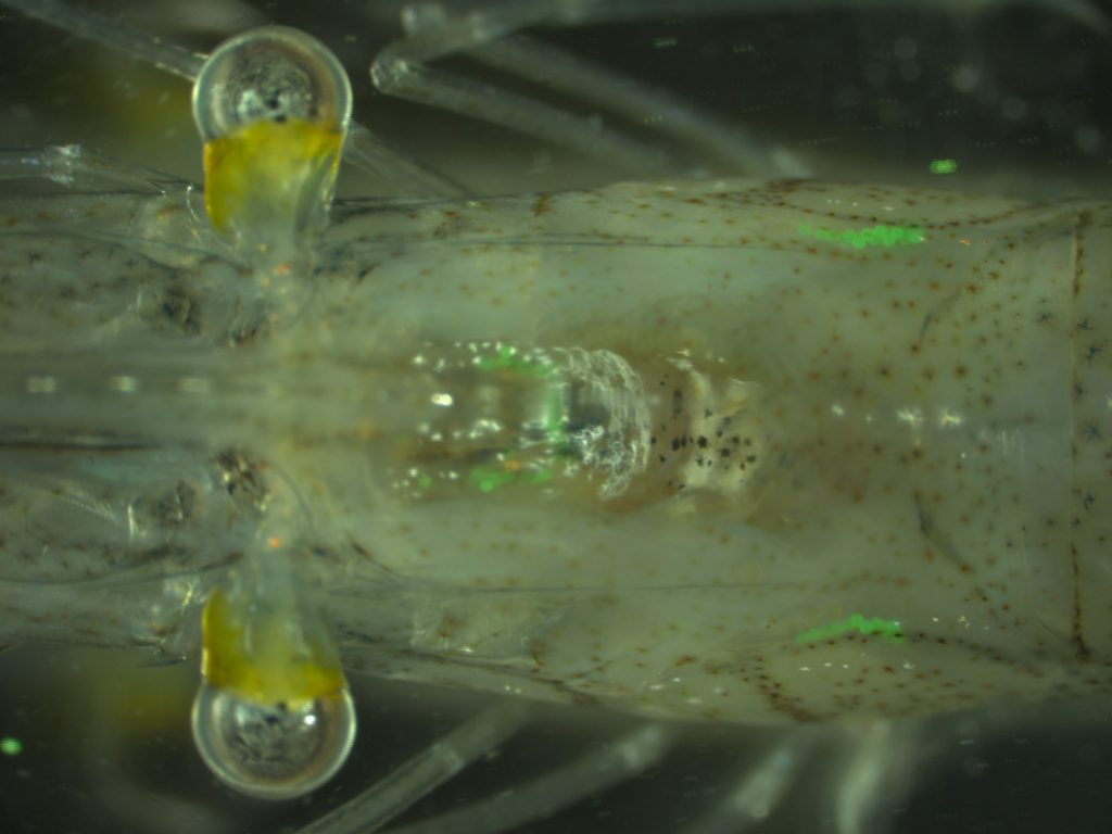 Lab Exposed Shrimp with Plastic Beads