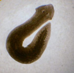 Magnified image of planarian worm
