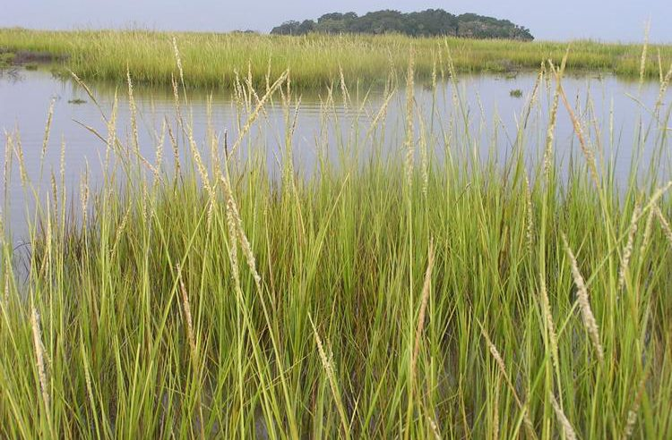 Spartina grass, courtesy of Danny Gustafson, Ph.D.