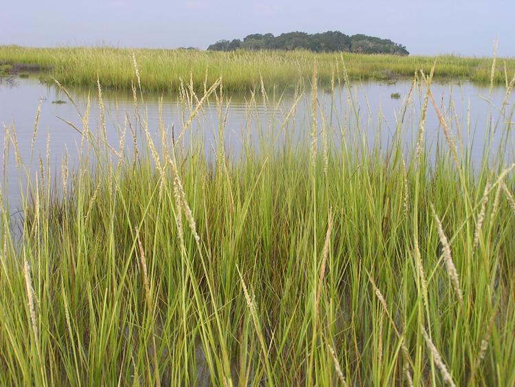 Spartina grass, courtesy of Danny Gustafson, Ph.D.