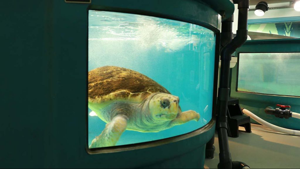 Voldemort, a loggerhead being treated at the South Carolina Aquarium's Sea Turtle Hospital (Courtesy: Victoria Hansen, SC Public Radio)