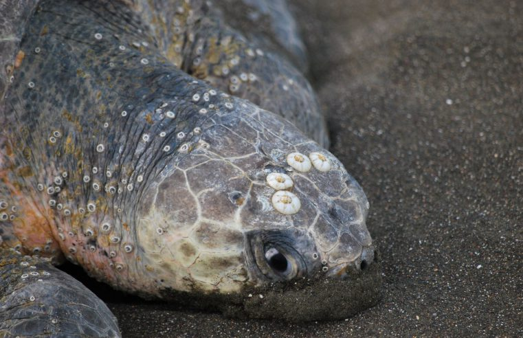 Sea turtle's head with barnacles on it